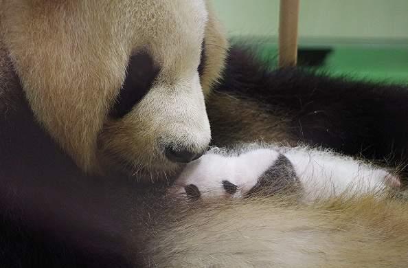 パンダの赤ちゃん3.jpg