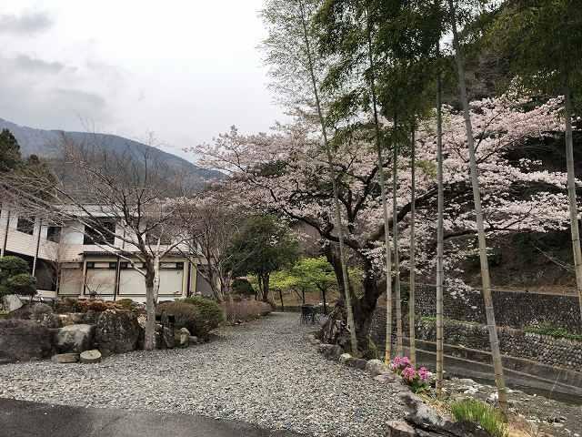 朝の桜3.jpg