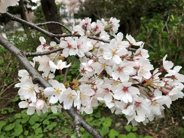 桜10.jpg