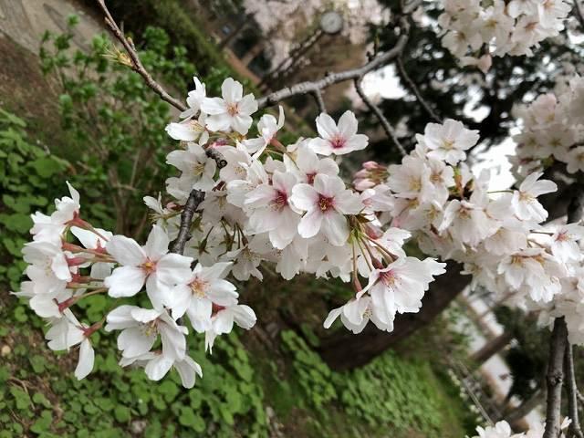 桜11.jpg