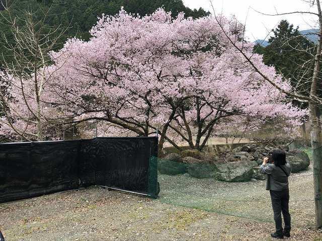 桜とジャン妻1.jpg