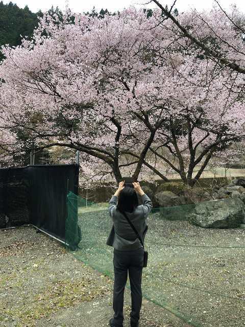 桜とジャン妻2.jpg
