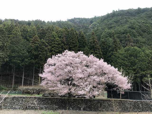 謎の桜1.jpg