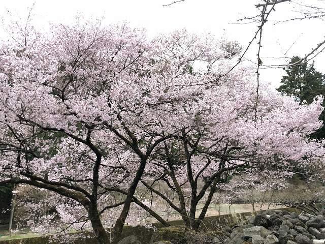 謎の桜10.jpg