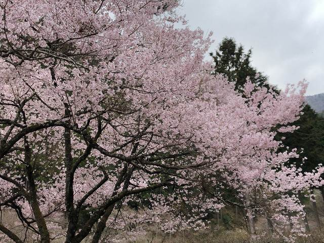 謎の桜3.jpg