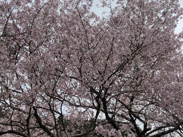謎の桜6.jpg
