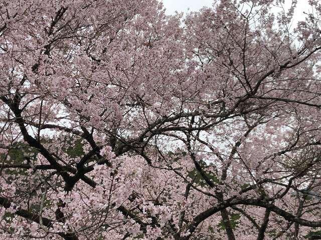 謎の桜7.jpg