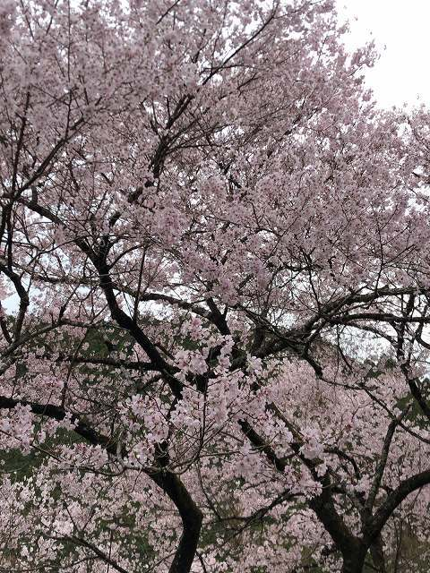 謎の桜8.jpg